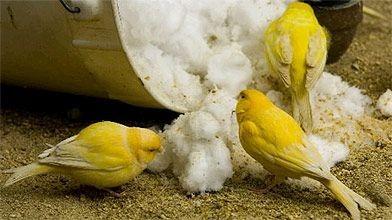 En hiver, les canaris comblent leurs besoins en...