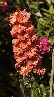 Le delphinium «Coral Sunset», une couleur unique chez...