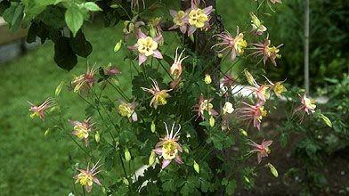 L'ancolie est une jolie plante qui a fait...