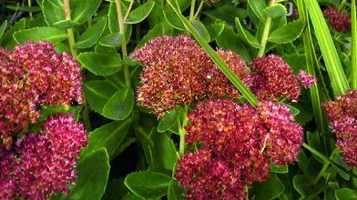 De belles vivaces floraison automnale larry hodgson for Vivace floraison hivernale