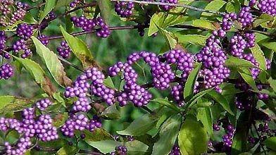 Les petits fruits du callicarpe «Early Amethyst» sont...