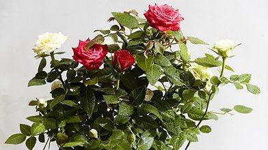 Une potée de rosiers de la lignée «kordans»...