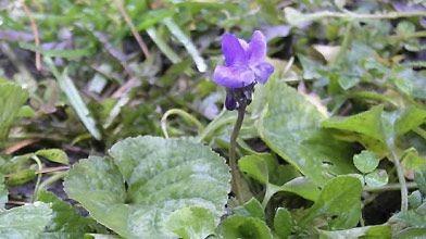 Violette en fleur sur un coin de pelouse...