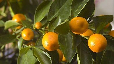 Les petites oranges du calamondin sont très amères...