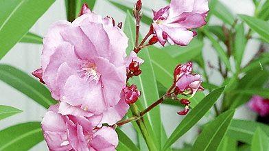 Comme une foule de plantes d'intérieur, le laurier-rose...