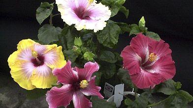Les fleurs d'hibiscus à grandes fleurs demeurent épanouies...