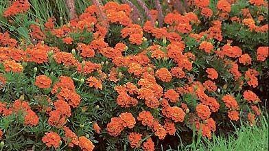 L'oeillet d'Inde est l'une des plantes les plus...