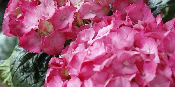 Au lieu de jeter les les hortensias pascals... (Photo archives La Presse)