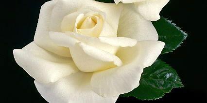 Le nouveau rosier «Longueuil»... (Photo fournie par Weeks Roses)