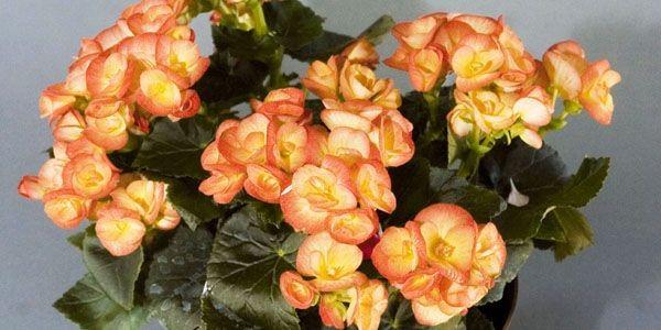 Le bégonia «Julie» fleurit abondamment durant des mois,... (Photo Armand Trottier, La Presse)