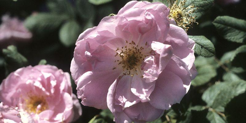 Hybridé au Canada en 1950, le rosier arbustif... (Photo fournie par le Jardin botanique de Montréal)
