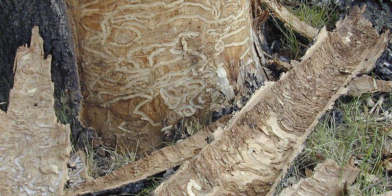 La larve de l'agrile du frêne creuse des... (Photo fournie par l'ACIA)