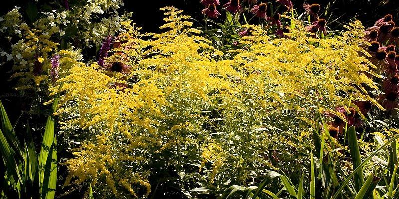 Le solidage «Goldenmosa» fleurit durant plus d'un mois,... (Photo Armand Trottier, La Presse)