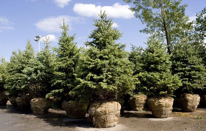 Bon nombre d'arbres sont vendus avec leurs racines... (Photo Armand Trottier, La Presse)