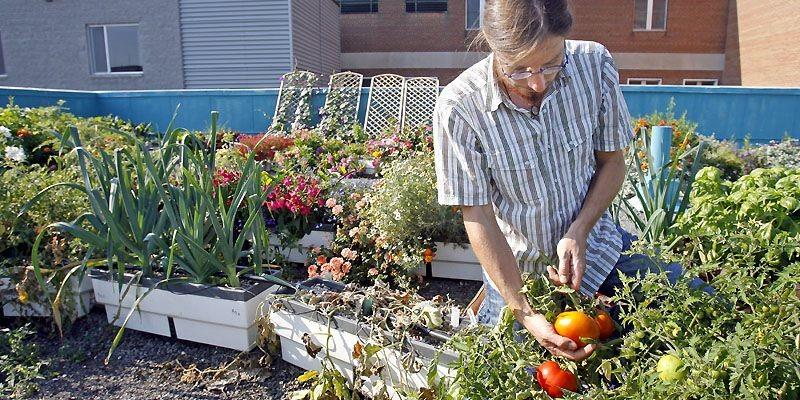 Mathieu Roy, coordonnateur technique pour l'organisme Communiterre, récolte... (Photo Robert Mailloux, La Presse)