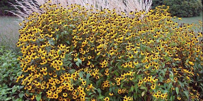 La rudbeckie trilobée, une belle fleur automnale.... (Photo: www.jardinierparesseux.com)