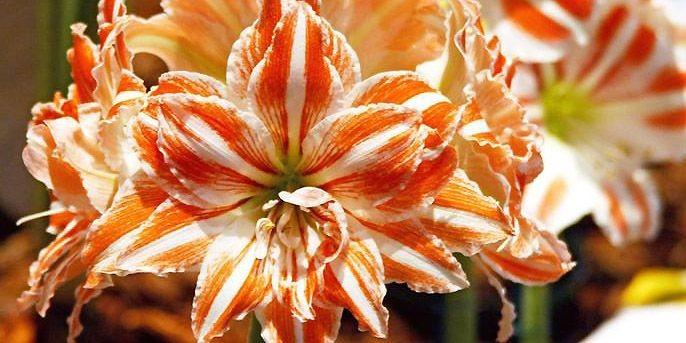 L'amaryllis fait toujours un cadeau surprenant.... (Photo: www.jardinierparesseux.com)