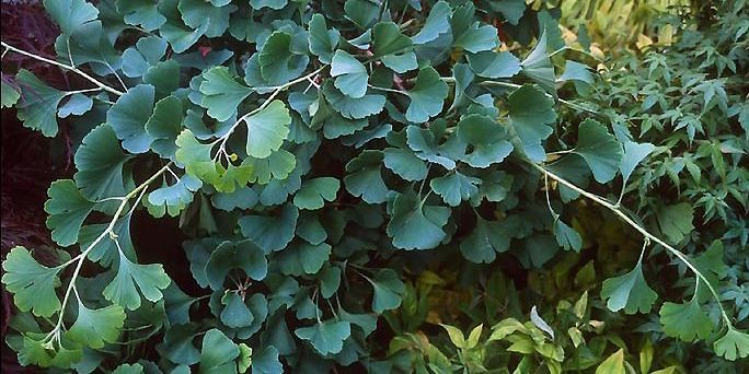 Le ginkgo (<i>Ginkgo biloba</i>) existe (sans avoir changé)... (Photo: www.jardinierparesseux.com)