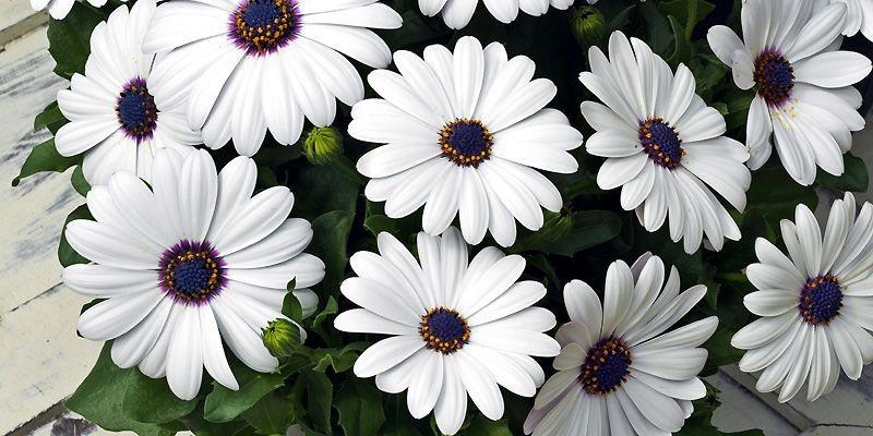 Ostéospermum «Asti White»... (Photo fournie par Sélections All-America 2008)