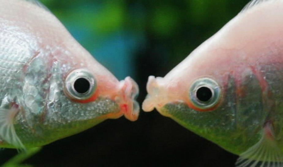Ces poissons tropicaux connus sous le nom de «kissing fish»... | 2011-03-01 00:00:00.000