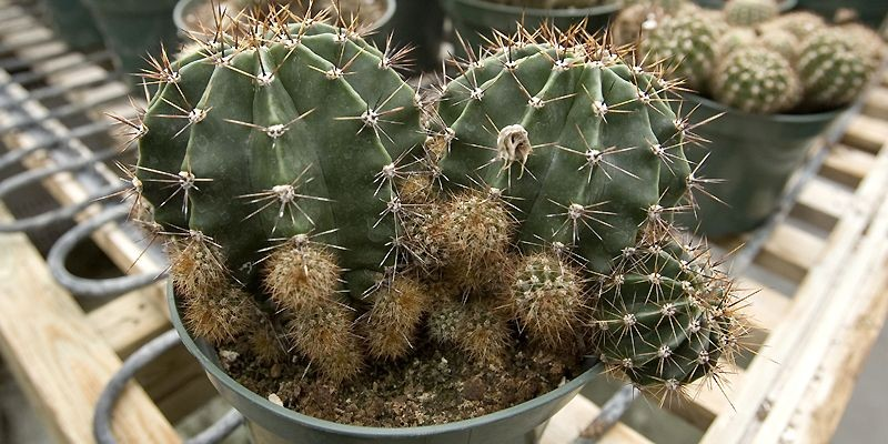 Les échinopsis produisent de nombreux rejetons autour du... (Photo Alain Roberge, La Presse)