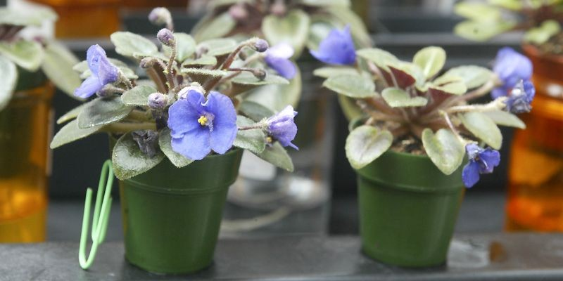 Francine Pilon adore les violettes... (Photo fournie par Francine Pilon)