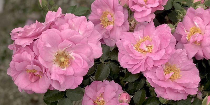 Le rosier «Cap Diamant» sera vendu exclusivement au... (Photo fournie par Weeks Roses)