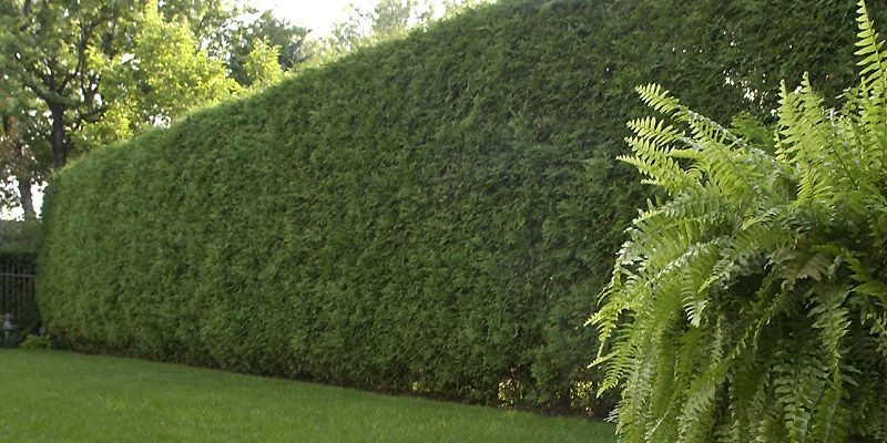 Vive la haie libre pierre gingras jardiner - Haie de jardin qui pousse vite ...
