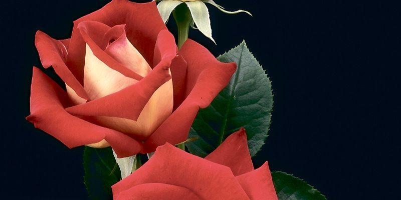 La rose «Cédrika Provencher»... (Photo fournie par Emmanuel Bertrand)