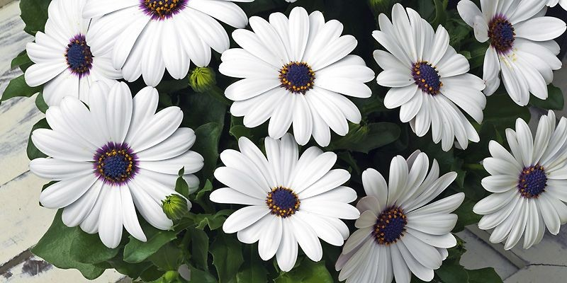Ostéospermum Asti White (Osteospermum «Asti White»), une «marguerite... (Photo fournie par Sélections All-America)