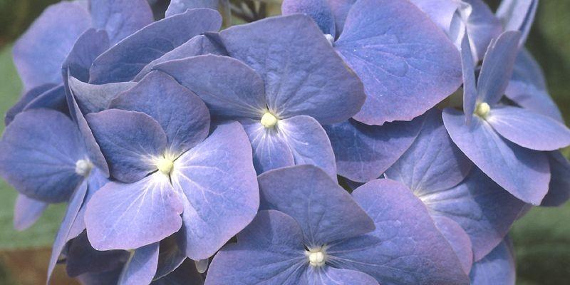 Hortensia «Nikko Blue», une variété populaire à Pâques... (Photo archives La Presse)