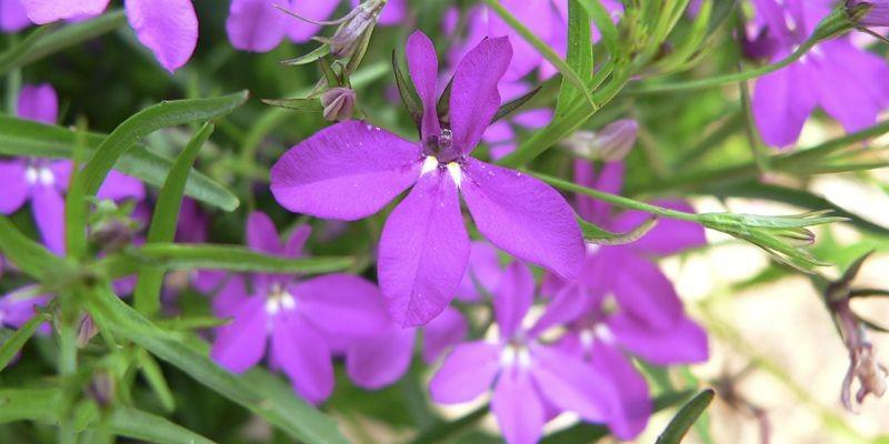 Fleur de lobélie «Purple Star»... (Photo fournie par Claude Vallée)