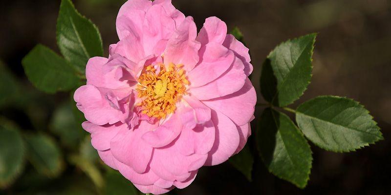 La rose «Cap Diamant».... (Photo Bernard Brault, La Presse)
