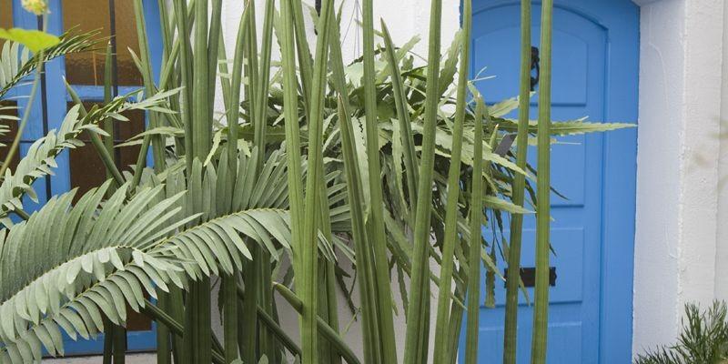 une langue de belle m re bien pointue pierre gingras jardiner. Black Bedroom Furniture Sets. Home Design Ideas
