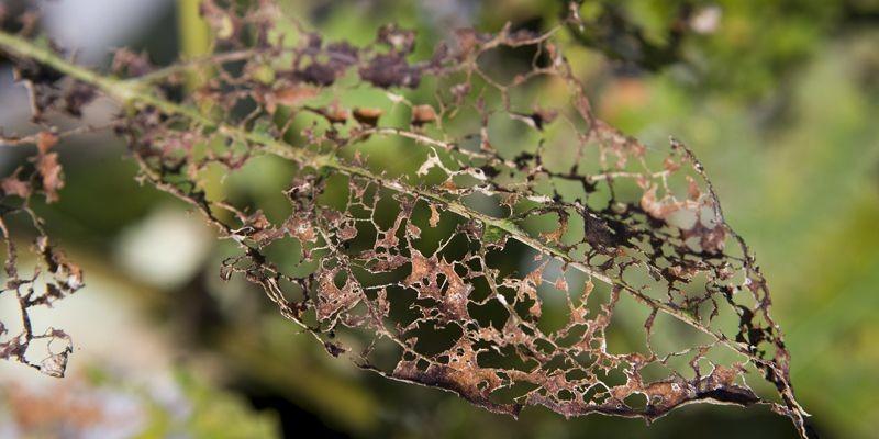 Feuille de vigne après le passage des scarabées.... (Photo Martin Chamberland, La Presse)
