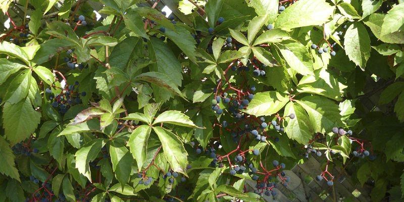 Les fruits de la vigne vierge sont toxiques,... (Photo Isabelle Perry, collaboration spéciale)