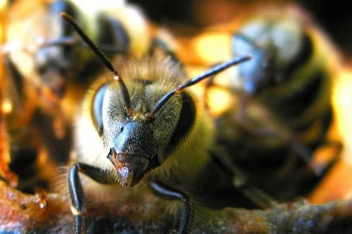 Les abeilles imitent les spectateurs qui, lors d'un match de... (Photo: CNW)