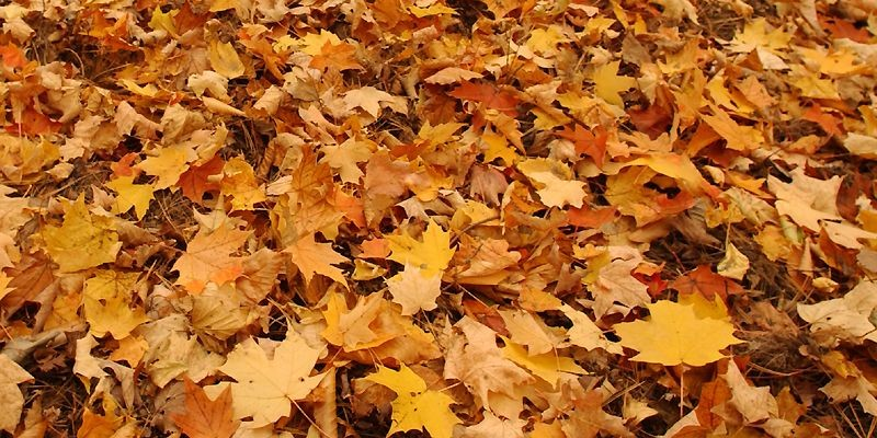 Les feuilles mortes déchiquetées font un excellent paillis.... (Photo archives La Presse)