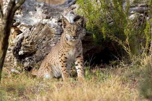 De nombreuses naissances de lynx ibériques cette année en Espagne... (Photo: AFP)