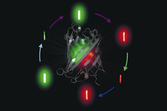 Au centre, la structure de la protéine Iris-FP... (CNRS (V. Adam))