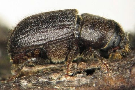 Un coléoptère... (Photo: Ressources naturelles Canada)