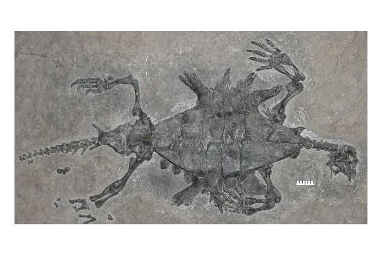 Le fossile de 220 millions d'années de l'Odontochelys...