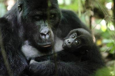 Cinq gorilles des montagnes, une espèce très menacée, sont nés dans l'est de la...