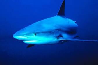 Déguster son repas au milieu des requins, c'est l'originalité... (Photo: Clipart)