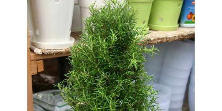 Une nouvelle plante de Noël: le romarin en... (Photo: www.jardinierparesseux.com)