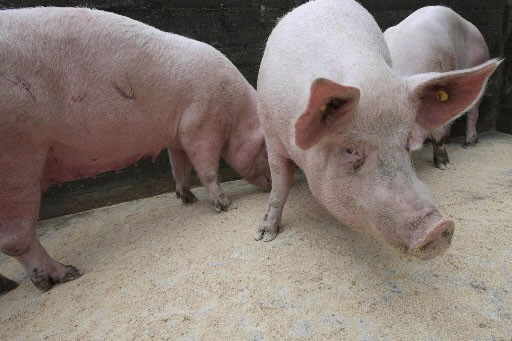 La Chine a suspendu lundi les importations de viande de porc en... (Photo: AFP)