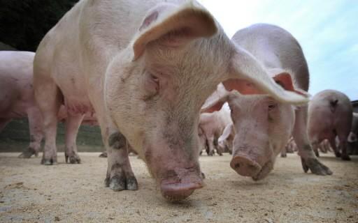 Plusieurs troupeaux de bovins irlandais, qui ont reçu la même... (Photo: AFP)