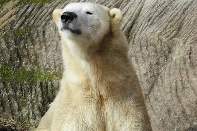 Vera, l'ourse polaire du zoo de Nuremberg, a... (Photo: AP)