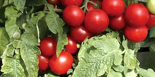 Le plant de tomates «Totem» a été sélectionné... (Photo fournie par Norseco)