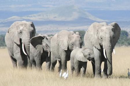 Les éléphants restés dans la nature ou travaillant... (Photo: PC)